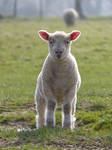 FZ012237 Lamb in field.jpg