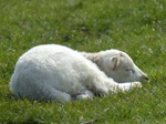 FZ012243 Sleeping lamb.jpg