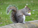 FZ013415 Squirrel in park eating apple.jpg