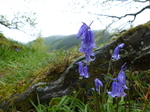 FZ014868 Common Bluebells.jpg