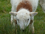 FZ014891 Damp little lamb.jpg