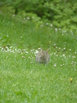 FZ014968 Rabbit in field.jpg