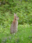 FZ014984 Rabbit standing in field.jpg