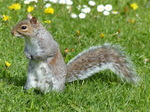 FZ015002 Squirrel in field.jpg