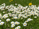 FZ015014 Field of daisies.jpg
