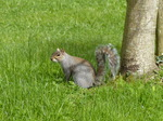 FZ015060 Squirrel by tree.jpg