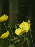 20150516 Poppies and slow worms in garden