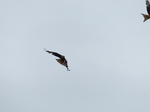 FZ015142 Red kite (Milvus milvus).jpg