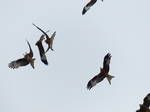 FZ015143 Red kites in fight (Milvus milvus).jpg