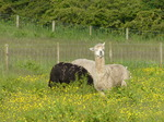 FZ018387 Alpacas at campsite.jpg
