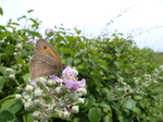 FZ018658 Meadow Brown butterfly on flower.jpg