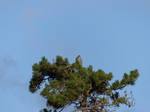 FZ019155 Buzzard in tree.jpg