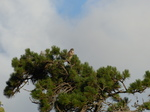 FZ019162 Buzzard in tree.jpg