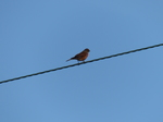 FZ019194 Little birdie on wire.jpg