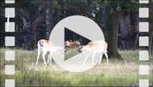 FZ019630E Two Fallow deer (Dama dama) locking antlers.mp4