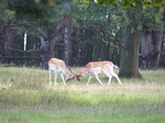 FZ019632 Fallow deer (Dama dama) locking antlers.jpg