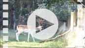 FZ019664E Fallow deer (Dama dama) jumping over fence.mp4
