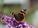 20150905 Battered Red Admiral (Vanessa atalanta) butterfly