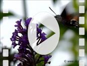 FZ020141E Slow motion 240fps of  'Colibri butterfly' Hummingbird Hawk-moth (Macroglossum stellatarum).mp4