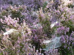FZ020330 Dew on spiderwebs in heather (Calluna vulgaris).jpg
