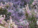 FZ020331 Dew on spiderwebs in heather (Calluna vulgaris).jpg