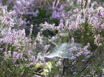 FZ020333 Dew on spiderwebs in heather (Calluna vulgaris).jpg