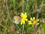 FZ020432 Small Heath (Coenonympha pamphilus) on yellow flower.jpg
