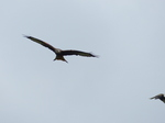 FZ022131 Red kite (Milvus milvus).jpg
