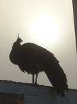 FZ022559 Peacock in morning mist.jpg