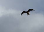 FZ023440 Red kite (Milvus milvus).jpg