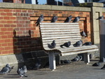 FZ024072 Pigeons on bench.jpg