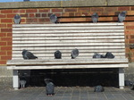 FZ024075 Pigeons on bench.jpg
