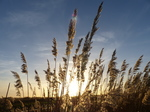 FZ024895 Reeds at sunset.jpg
