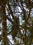 FZ024999 Long-eared owl (Asio otus) in tree.jpg