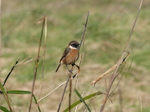 FZ026079 Stonechat (Saxicola torquata) on long grass.jpg
