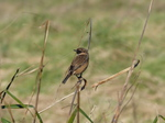 FZ026081 Stonechat (Saxicola torquata) on long grass.jpg