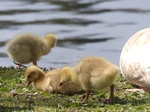 FZ028443 Goslings in grass.jpg