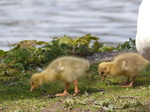FZ028461 Goslings in grass.jpg