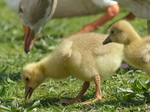 FZ028542 Goslings in grass.jpg