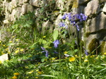 FZ028553 Bluebells by stone wall.jpg