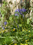 FZ028557 Bluebells by stone wall.jpg