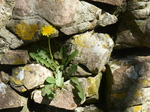 FZ028572 Dandelion on rock wall.jpg