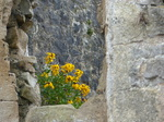 FZ028659 Flowers at Chepstow Castle.jpg