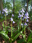 FZ028725 Bluebells in Heath Park.jpg