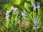 20160506 Blue bells in heath park