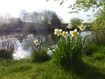 FZ029012 Daffodils at pond.jpg