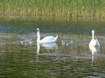FZ029175 Swans and cygnets.jpg