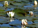 FZ029313 White water-lilies (Nymphaea alba) at Bosherston lily ponds.jpg