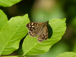 FZ029348 Speckled Wood butterfly (Pararge aegeria).jpg