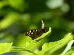 FZ029356 Speckled Wood butterfly (Pararge aegeria).jpg